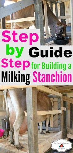 How To Build An Elevated Milking Stanchion. This is a raised milk stand but can be built straight on the ground as well. Raising Cattle, Raising Goats, Mini Cows, Mini Farm, Jersey Cow Milk, Jersey Cows, Buy A Cow, Cow Tipping, Miniature Cows