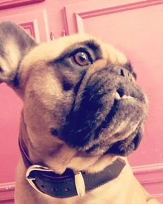 En mode #beaugosse au magasin avec ma #mum http://ift.tt/1zpwtDZ #petitescanailles #bouledoguefrancais #bouledogueofinstagram #frenchbulldogofinstagram #frenchie #frenchbulldog #shopfordogs #faitlapose #faitlebeau #cutedogs #instabully #instadogs #followme  by petites_canailles  http://bit.ly/teacupdogshq