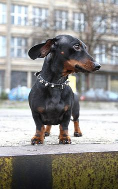 Dachshund ears floppin in the wind Dachshund Quotes, Dachshund Puppies, Weenie Dogs, Dachshund Love, Cute Puppies, Cute Dogs, Dogs And Puppies, Daschund, Beautiful Dogs