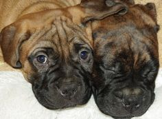 Bull mastiff puppies This will be our next dog!