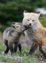 Mother red fox and kit, Mt. Rainier National Park - Smooch!