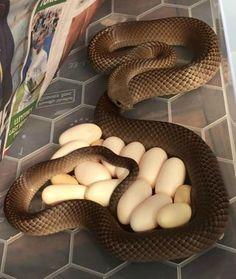 Cobra é encontrada embaixo de geladeira de australiana (Foto: Reprodução/Facebook)