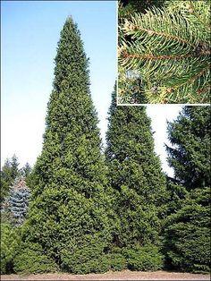 Cupressina spruce
