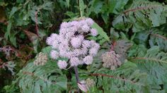 Cauliflower, Vegetables, Plants, Summer, Cauliflowers, Head Of Cauliflower, Vegetable Recipes, Flora, Plant