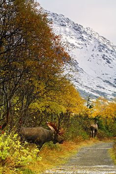 A Bull Moose pursues a cow moose during the Fall rut in the Chugach Mountains, Chugach State Park, Alaska (my backyard! Moose Hunting, Bull Moose, Big Game Hunting, Moose Pictures, Alaska The Last Frontier, Visit Alaska, Fauna, Bergen, Pet Birds