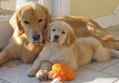 Beautiful pair of Goldens