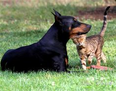 Vicious breed the dobermans, aren't they?