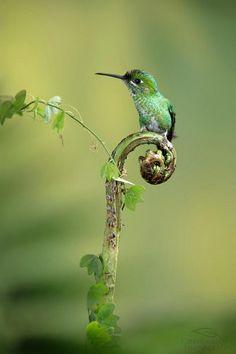 The Hummingbird (kolibrie) Pretty Birds, Love Birds, Beautiful Birds, Animals Beautiful, Cute Animals, Beautiful Moments, Green Animals, Beautiful Poetry, Simply Beautiful