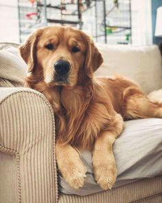 Chien Golden Retriever, Baby Golden Retrievers, English Golden Retrievers, Fun Walk, Cute Dogs And Puppies, Doggies, Lab Puppies, Retriever Puppy, Cute Baby Animals
