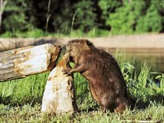 New York State Animal | New York State Animal, American Beaver (Castor canadensis), from ...