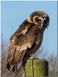 Frodo the Malaysian Wood Owl . Beautiful Owl, Animals Beautiful, Owl Bird, Pet Birds, Nocturne, Wood Owls, Owl Pictures, Animal 2, Cute Owl