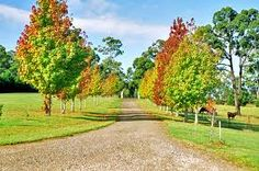 Liquid amber trees to line the driveway