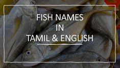 Fish Names in Tamil - English - Tamil nadu Fishes | மீன் வகைகள் மற்றும் மீன் தமிழ் பெயர்கள் | Fishes of Tamilnadu, Fish names English Tamil with pictures, Freshwater Fishes of Tamil Nadu, Marine fishes Saltwater. Fish names in தமிழ Saltwater Fishing, Fly Fishing, Black Tip Shark, Green Mussels, Grass Carp, Spanish Mackerel, Common Carp, Parrot Fish