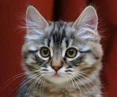 Very,very cute Siberian kitty