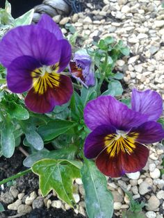 Purple violaa