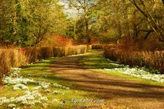 The Argory, walk amongst the snowdrops, near Dungannon, County Armagh, Northern Ireland.