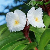 White Hawaiian Flowers - Costus speciosus – Crepe Ginger