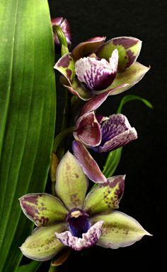 Zygonisia 'Snow Bird' orchid