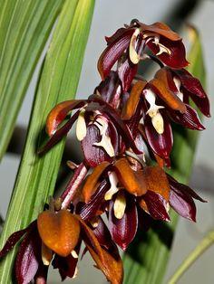houlletia+odoratissima