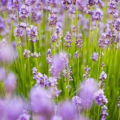 Imagine walking through a field of Lavender in bloom ! Visit www.pairfum.com for reed diffuser fragrance inspiration in summer. #fbloggers #fashionblogger #styleblogger #ontheblog #linkinprofile #lifestyleblog #lifestyleblogger #diyblog #bloggerstyle #minimalmood #minimalove #minimal_perfection #minimalhunter #minimalismo #minimal_graphy #minimalfashion #interiorinspiration #decorinspiration #apartmenttherapy #mywestelm #UOhome #sodomino #decorhome #apartmentlife #abmathome #acolorstory…