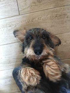 Wirehaired #dachshund.