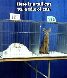 Here is a Tall Cat vs a Pile of Cat | Mega Memes LOL!