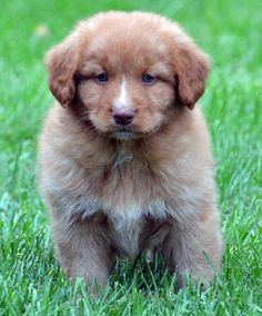 Decker the Nova Scotia Duck Tolling Retriever