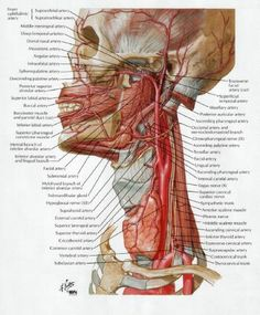 News dissecting a human head through anatomical illustrations news dissecting a human head through anatomical illustrations pinterest human head dental and medicine ccuart Image collections