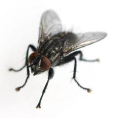 moscas y zancudos - Pesquisa Google