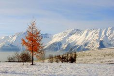 red tree against the white mountains