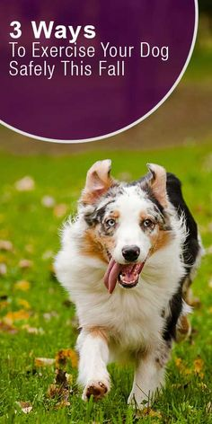 Stay safe outdoors this fall while exercising your dog! https://www.sitstay.com/blogs/good-dog-blog/exercise-your-dog-safely-this-fall?utm_campaign=coschedule&utm_source=pinterest&utm_medium=SitStay%20Dogs