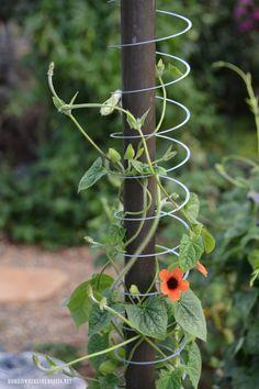 Slinky Hack and Trellis for a Favorite Flowering Vine Slinky Hack and Tr. Slinky Hack and Trellis for a Favorite Flowering Vine Slinky Hack and Trellis for a Favorit Garden Yard Ideas, Diy Garden Decor, Garden Crafts, Lawn And Garden, Garden Projects, Art Crafts, Easy Garden, Backyard Ideas, Garden Art