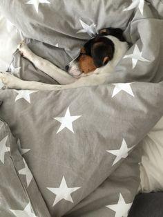 Sweet little Parson Russel Terrier sleeping