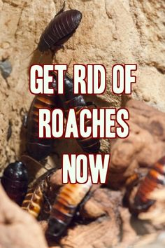 How To Get Rid Of Roaches?: Cockroaches are a big time dilemma, they are just so hard to rid. No matter how much you try, they somehow keep finding their ways b Best Pest Control, Bug Control, Roaches, Fleas, Roach Killer, Weed Killer, Insecticide, Keep It Cleaner, Helpful Hints