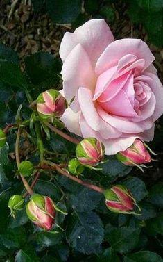 ~natalca ~ beautiful pink rose and rosebuds Beautiful Rose Flowers, Love Rose, Beautiful Gardens, Pink Flowers, Beautiful Flowers, Coming Up Roses, Deco Floral, Flower Photos, Flower Art