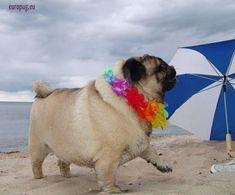 Hawaiian-Pug-1 / http://europug.eu/hawaiian-valli-miniseries/