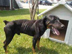 Rotterman Dog For Adoption in Rosenberg, TX, USA