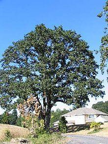 Garry Oak, or Oregon White Oak is drought resistant.