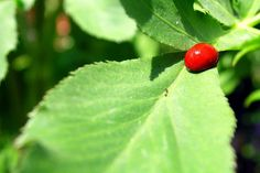 Holly Berry BugCredit: Stephan Spiegel  This ladybug — sans any spots — was photographed at the Mission Hills Nursery and Garden Center in San Diego, Calif. Like its spotted kin, this ladybug belongs to the Coccinellidae family of beetles; The insects' spots and bright coloring serve to warn predators that they taste bad and are poisonous, since they can be toxic to some animals.