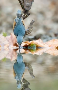 Nuthatch getting a drink. Twisting the door's reflected image into the reflected image of this nuthatch. Photo by Mark Hancox Pretty Birds, Love Birds, Beautiful Birds, Animals Beautiful, Beautiful Pictures, Hello Beautiful, Like Animals, Cute Baby Animals, Tier Fotos