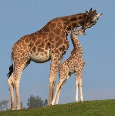 mother/baby giraffe ;)