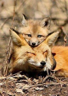 "mama and baby fox Fox Cub: ""I've never been afraid, when my Mom is here; even if she is sleeping!""Fox Cub: ""I've never been afraid, when my Mom is here; even if she is sleeping! Nature Animals, Animals And Pets, Wild Animals, Black Animals, Beautiful Creatures, Animals Beautiful, Cute Baby Animals, Funny Animals, Mother And Baby Animals"