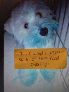 """""""I chewed a plastic bottle of blue food coloring."""" ~ Dog Shaming shame - feeling blue"""