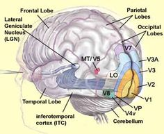 """THE BRAIN FROM TOP TO BOTTOM. See """"THE VARIOUS VISUAL CORTEXES"""" and """"THE TARGETS OF THE OPTIC NERVE"""". Good explanations."""