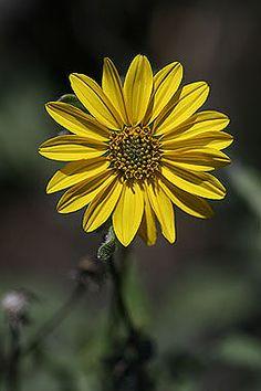 Helianthus pumilus - Low sunflower - Aster Family (Asteraceae) - Summer - Colorado Wildflower