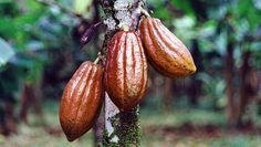 Chocolate is made from cocoa beans which logically grow on a cacao tree, Gyarko Farms is a producer of good quality cocoa beans in Ghana.Cacao beans are one of nature's most potent antioxidant foods: http://www.asanduff.com/gyarko-farms/ #cocoabeans, #cocoaghana, #cocoafarms
