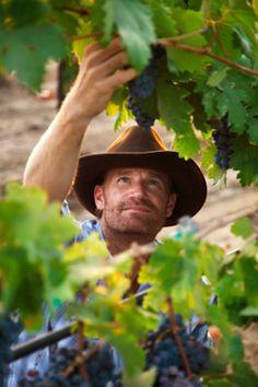picking grapes!