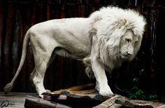 Flippin' gorgeous! Albino Lion, one of Gods amazing creatures!