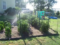 diy tomato cage | You can see the fence post sticking out on the very right hand side of ...