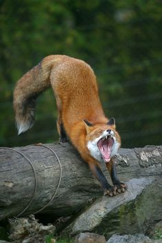 yawn...my, what a big mouth you have!